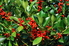 holly tree producing red berries