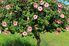 short, healthy hibiscus tree with green leaves and pink flowers