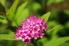 pink spirea flower