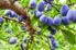 A plum tree.