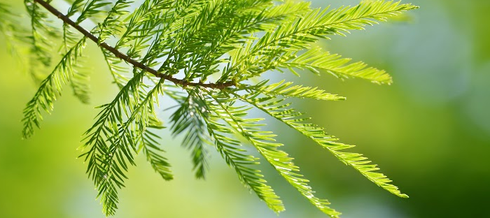 Cypress Branch and Needles