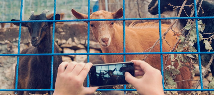 person taking a picture of goats