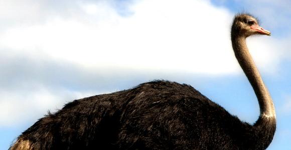 02_Ostrich.jpg