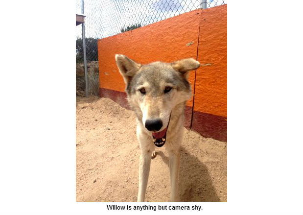 Willow the wolfdog