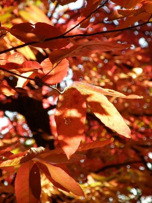 AUTUMN-LEAVES-500.jpg