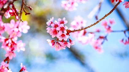 A cherry tree blossoming in spring.
