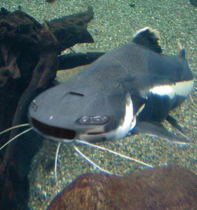 CamaroFish