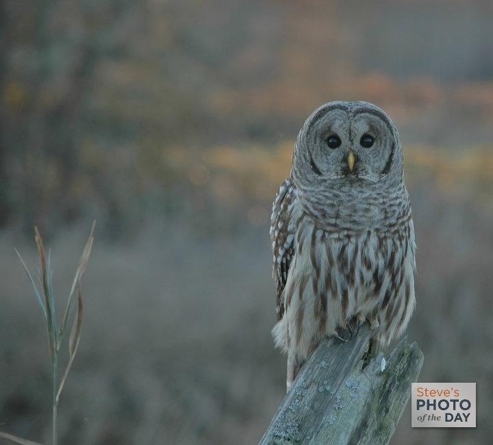 Elusive Barred Owl