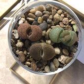 Lithos, living stones, preparing to bloom- inside