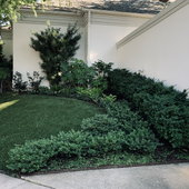 Hedge of dens spreading yews with Aralia, turf just installed.