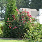 Wildly blooming Crepe myrtle. Summer 2012.  Will be trimmed back to lateral whips.
