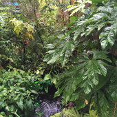 A robust start of the growing season has swallowed the pond area with Lizard tail plants in the pond. Large leaf Trevesia on right, that protects an assortment of ferns. Gold fish, mosquito fish and occasional visiting turtles inhabit the pond.