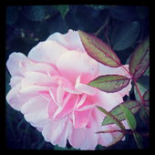 Heirloom Bonica rose
