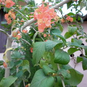 Cup and saucer plant (Holmskioldia sanguinae)