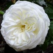 Floribunda Rose 'Luminis' - very fragrant
