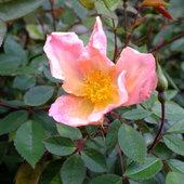 Rose 'Mutabilis'