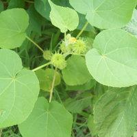 Abutilon theophrasti, velvet leaf plant