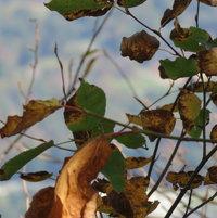 Autumn leaves ..