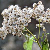 Mt Jefferson Wild Flowers ..