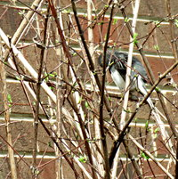 Certainly she can't see me .. Dark Eyed Junco preening in Mock Orange --
