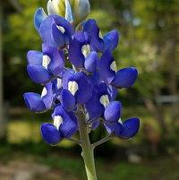 Bluebonnet Beauty