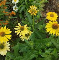 Lemon Yellow Coneflower and orange Asclepias