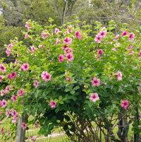 Allamanda Cathartica - Cherries Jubilee