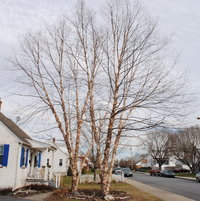My two birch trees after proper pruning in January 2012. No topping or wacking off the tops.