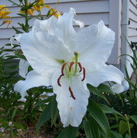 Casablanca Lily, the scent is amazing!
