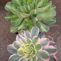 Aeonium 'Sunburst' (below) with peripheral leaf variegation and Aeonium 'Starburst' (above) with central leaf variegation.