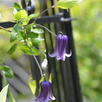 6.20.13 Today is the last day of Spring. My Clematis 'Rooguchi' is in bloom here growing on my fence.