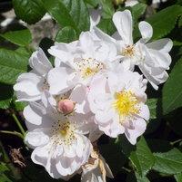 Hybrid Musk Rose 'Maid Marion' bred by Rev. Joseph Hardwick Pemberton, UK pre 1927