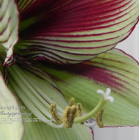 This close-up shot of Hippeastrum papilio shows the striping detail.