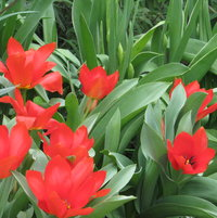 Red tulips come up every year