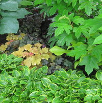 Coral bells, hosta and oakleaf hydrangea share a section of the shade garden