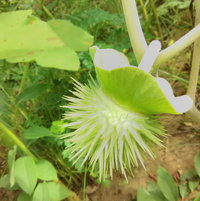 White, Compact Datura/ Angel's Trumpet