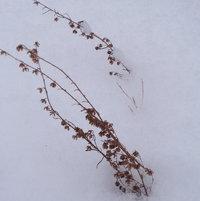 artemisia blossom stalks