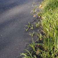 Creeping Liriope, Lilyturf, is so strong, it happily grows into asphalt.