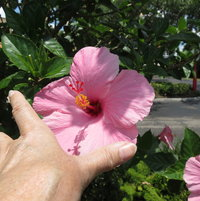size of Seminole Pink Hibiscus