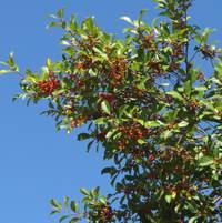 Berries to ripen ..