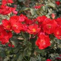 red Chinese rose