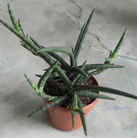 """My spike-leaved Sansevieria suffruticosa 'Frosty Spears' not to be confused with the """"artist"""" Britney Spears."""