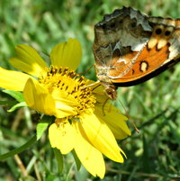 Variegated Fritillary  (Euptoieta claudia) on False Sunflower ..