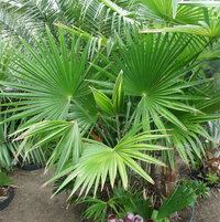 Trachycarpus latisectus... nice palm... but Acton??