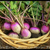 Heirloom Turnips grown by Seeds and Things Farm