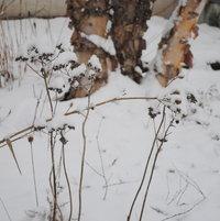 Wild Quinine has pretty seed heads