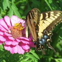 Eastern Tiger Swallowtail on a Zinnia ..