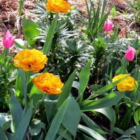 Peony tulips Yellow Pomponetts