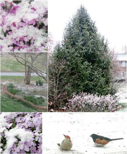 March Morning Flurries -dusting Creeping Phlox, Dogwood Patch, Elegant Evergreen and the Deck Diner with Red Bellied Woodpecker and Eastern Towhee ..