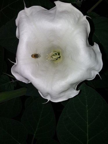 Datura flower ( Moon Plant) One of my favorite flower heads and fun plant to grow. This was taken at night with an android phone camera, no special effects added. I just love the flower and photo!